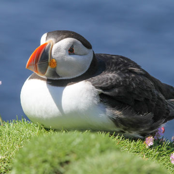 amazing-bird-watching-puffins-stacks-and-seabirds-sea-tour-scotland