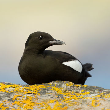 black-guillemot-nestling-north-coast-boat-tours