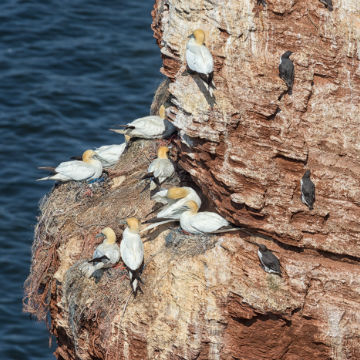 gannet birds-guillemot birds-nesting-stacks-and-seabirds-boat-tour